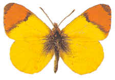 Anthocharis Belia, a European specie, also called the Moroccan Orange Tip.